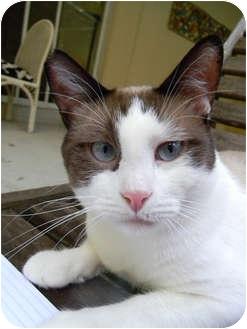 Siamese Cat for adoption in Naples, Florida - Twilight
