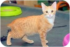 Manx Kitten for adoption in Arlington, Virginia - Abigail (Bunny-like Bobtail)