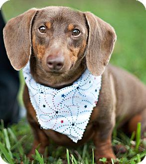 Dachshund Mix Dog for adoption in Portsmouth, Rhode Island - Brownie w/video!
