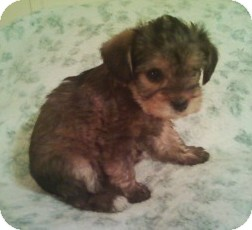 Yorkie, Yorkshire Terrier/Shih Tzu Mix Puppy for adoption in McMinnville, Tennessee - Tori