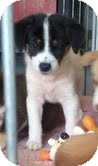 Border Collie/Collie Mix Puppy for adoption in Foster, Rhode Island - Sissy