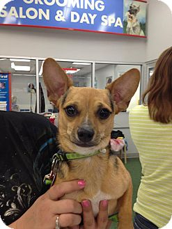 Chihuahua Mix Puppy for adoption in Dallas, Texas - Gib