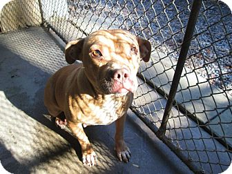 Pit Bull Terrier Mix Dog for adoption in Henderson, North Carolina - Scribbles