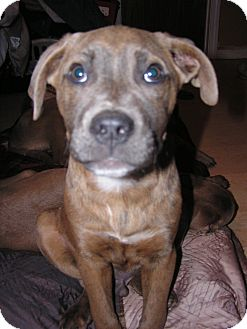 Presa Canario/Cane Corso Mix Puppy for adoption in Peachtree City, Georgia - Jericho