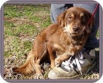 Dachshund/Spaniel (Unknown Type) Mix Dog for adoption in Allentown, Pennsylvania - Emma Lou