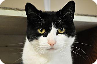 Domestic Shorthair Cat for adoption in Maple Ridge, British Columbia - Tweety Pie