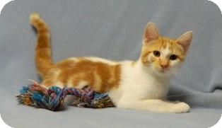 Domestic Shorthair Cat for adoption in Columbus, Nebraska - Skeeter