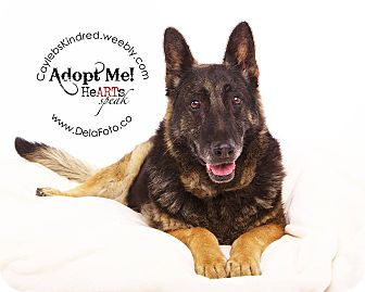 German Shepherd Dog Dog for adoption in Denver, Colorado - Elli