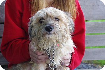 Yorkie, Yorkshire Terrier Mix Dog for adoption in Elyria, Ohio - Benji