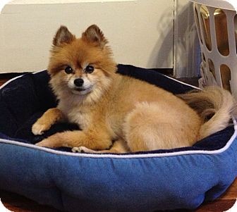 Pomeranian Dog for adoption in Kansas City, Missouri - Gracie