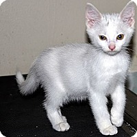 Adopt A Pet :: Snowy - Xenia, OH