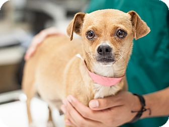 Chihuahua Mix Dog for adoption in Dallas, Texas - Peony