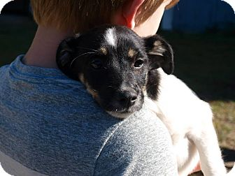 Jack Russell Terrier Mix Puppy for adoption in Oakdale, Louisiana - Tansie