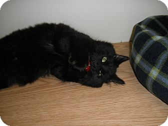 Domestic Longhair Cat for adoption in Milwaukee, Wisconsin - AC