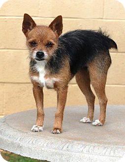 Australian Terrier Mix Dog for adoption in McDonough, Georgia - Phoebe