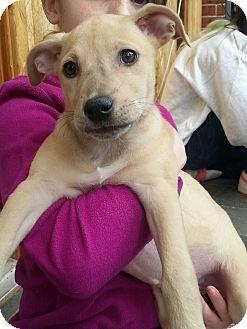 Labrador Retriever/Hound (Unknown Type) Mix Puppy for adoption in Pompton Lakes, New Jersey - Wilma