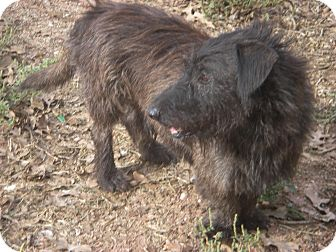 Scottie, Scottish Terrier Mix Dog for adoption in Buchanan Dam, Texas - Shaggy