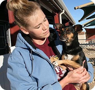 Chihuahua Mix Dog for adoption in Yucca Valley, California - Snickers Bethany Gingerbread
