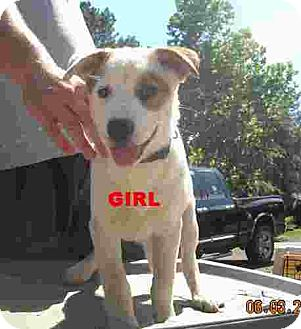 Australian Cattle Dog/Border Collie Mix Puppy for adoption in Conway, Arkansas - Heaven