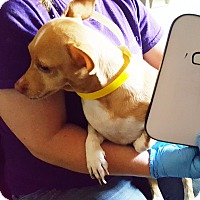 Adopt A Pet :: ChaCha - Savannah, GA