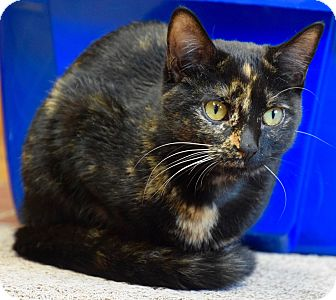 Domestic Shorthair Cat for adoption in Des Moines, Iowa - Louise