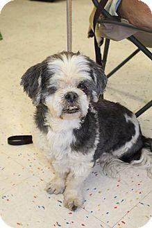 Shih Tzu Mix Dog for adoption in Hurricane, Utah - GOONIE