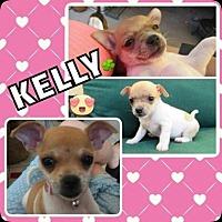 Chihuahua Mix Dog for adoption in Scottsdale, Arizona - Kelly