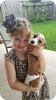 Chihuahua/Jack Russell Terrier Mix Puppy for adoption in Houston, Texas - Radar