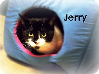 Domestic Shorthair Cat for adoption in Defiance, Ohio - Jerry