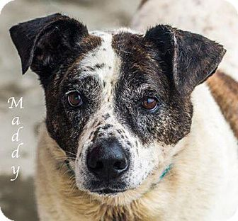 Border Collie/Australian Cattle Dog Mix Dog for adoption in Dallas, Texas - Maddy