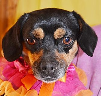 Chihuahua Mix Dog for adoption in Littlerock, California - Chickie Mama