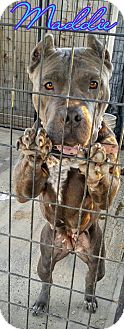 Pit Bull Terrier/Terrier (Unknown Type, Medium) Mix Dog for adoption in Fowler, California - Maddie