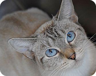 Siamese Cat for adoption in Sierra Vista, Arizona - Siam
