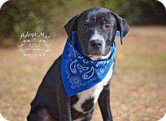 Labrador Retriever Mix Puppy for adoption in Fort Valley, Georgia - Spot