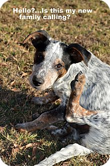 Australian Cattle Dog/Border Collie Mix Puppy for adoption in Westport, Connecticut - Ace