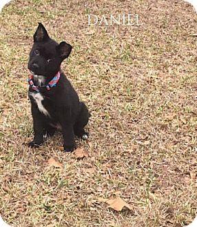 Border Collie Mix Puppy for adoption in DeForest, Wisconsin - Daniel