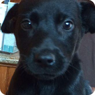 Labrador Retriever Mix Puppy for adoption in West Hartford, Connecticut - Luis
