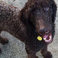Adopt A Pet :: Coco 2 - Alpharetta, GA
