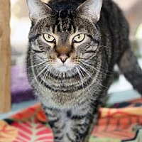 Adopt A Pet :: Jaspurr - Norman, OK