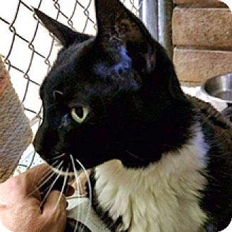 Domestic Shorthair Cat for adoption in Phoenix, Arizona - Jimmy