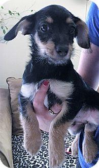Jack Russell Terrier/Miniature Pinscher Mix Puppy for adoption in Garland, Texas - John Boy