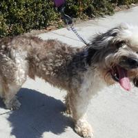Adopt A Pet :: BUTCH - Huntington Beach, CA