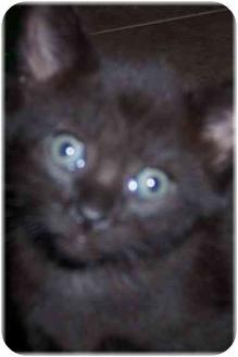 Domestic Shorthair Kitten for adoption in Naples, Florida - Eden
