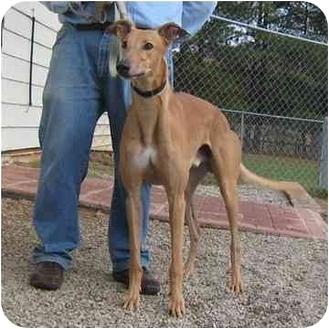 Greyhound Dog for adoption in Oak Ridge, North Carolina - Carl