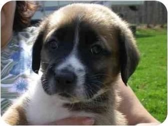 Carolina Dog/Shepherd (Unknown Type) Mix Puppy for adoption in Front Royal, Virginia - Mac