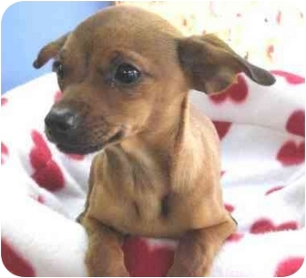 Miniature Pinscher/Chihuahua Mix Puppy for adoption in Poway, California - RASCAL