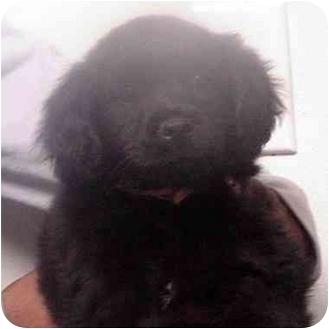 Cocker Spaniel Mix Puppy for adoption in Manassas, Virginia - Ebony