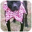 Photo 2 - American Pit Bull Terrier Dog for adoption in Gainesboro, Tennessee - Brooklyn