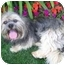 Photo 4 - Lhasa Apso Dog for adoption in Los Angeles, California - MANNY & MO