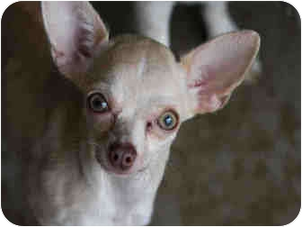 Chihuahua Dog for adoption in Austin, Texas - Demi